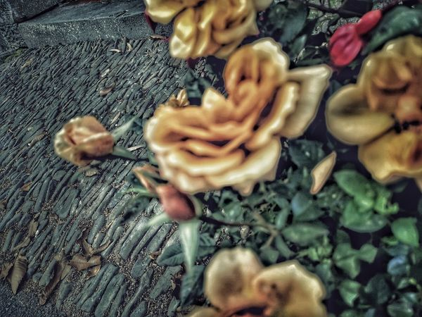 A whole lot a rosey. ... Stone Pathways Stone Material Rosé Rose - Flower Dead Rose Old But Awesome Old Path Pathways Focal Point P20 Pro The World Needs More Yellow Red Rose Yellow Rose Stones Close-up Blooming Growing Temptation