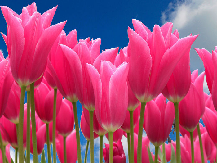 Beauty In Nature Blooming Close-up Day Flower Flower Head Flowers And Blue Sky Fragility Freshness Growth Low Viewpoint Nature No People Outdoors Petal Pink Color Plant Red Tulips Sky Tulip Perspectives On Nature