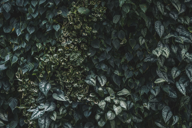leaf wall Leaf Leaves Wall Textured  Texture Green Natural Backgrounds Flora Plant Part Growth Plant Full Frame Nature No People Day Outdoors Abundance Textured  Beauty In Nature Close-up Pattern Large Group Of Objects Tranquility Freshness Ivy Land
