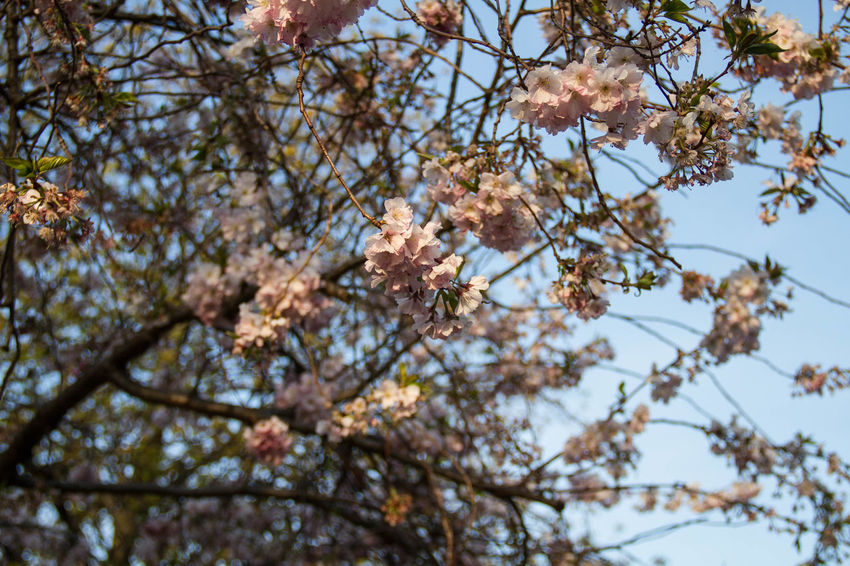 Apple Blossom Beauty In Nature Blossom Branch Close-up Day Flower Flower Head Fragility Freshness Growth Low Angle View Nature No People Outdoors Petal Sky Springtime Tree Twig