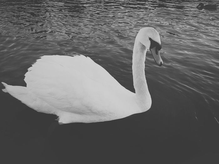 Animals In The Wild Water Animal Wildlife One Animal No People Swimming Nature Outdoors Swan Black & White Best Of EyeEm The Great Outdoors - 2017 EyeEm Awards Getting Inspired EyeEm Best Shots Outdoor Photography Eye4photography  😚 Capture The Moment EyeEm Masterclass Eyem Best Edits EyeEm Nature Lover Eyem Nature Collection EyeEm Nature Photography EyEmNewHere EyeEm Gallery