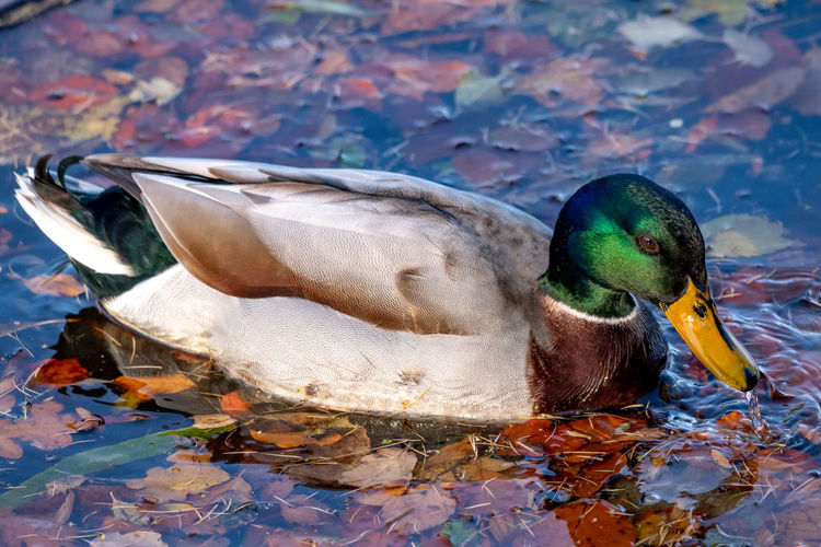 Mallard duck in water surrounded by autumn leaves. Mallard Duck Mallard Autumn Autumn Leaves Bird Animals In The Wild Animal Poultry Lake Male Animal No People One Animal Nature Leaf Close-up Duck Day Bird Swimming Animal Wildlife Water Animal Themes Vertebrate