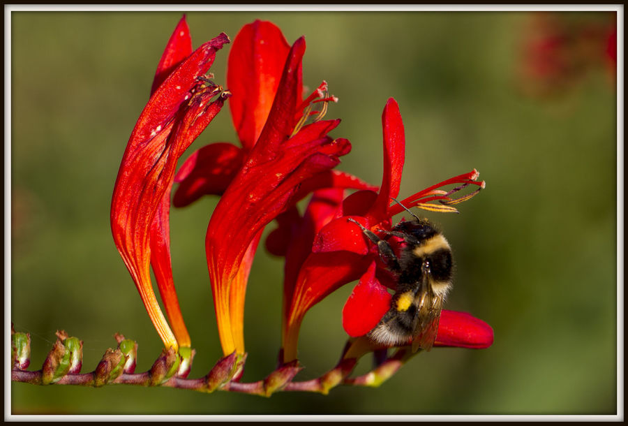 Bee on crocosmia Bee On Crocosmia Crocosmia Bees Bees And Flowers Red Red And Yellow Flower Animal Themes Animals In The Wild Beauty In Nature Bee Close-up Day Flower Flower And Bee Flower Head Fragility Freshness Insect Nature Nectar No People One Animal Outdoors Red