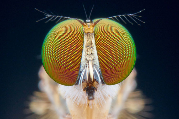 Robberfly face Fly Macro Photography Nature Cfkam Face Insect Robberfly