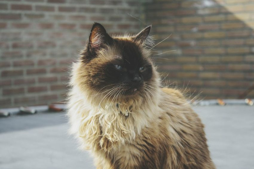 Beauty In Nature Cat Cats Cats Of EyeEm Ragdoll Ragdoll Cat Cute Blue Eyes Portrait Meow Cute Pretty Photography Cat Photography EyeEm Selects Pets Portrait Winter Cold Temperature Dog Ear Snow Looking At Camera Animal Hair Close-up Cat Feline Kitten HEAD Animal Eye