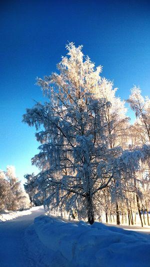 Tree Snow Clear