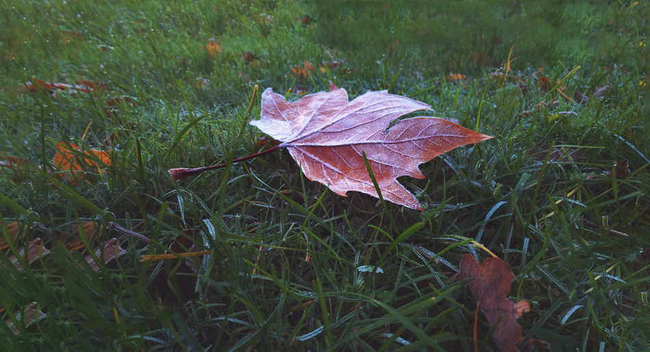 Close-up of autumn leaf on field