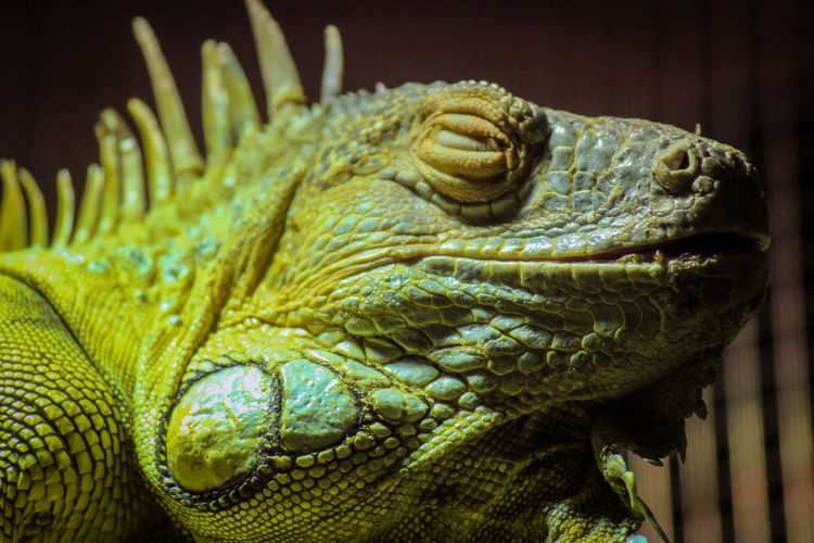 Animal Scale Animal Themes Animal Wildlife Animals In The Wild Chameleon Close-up Day Iguana Lizard Nature No People One Animal Outdoors Reptile
