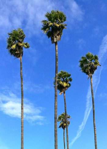 Tree Low Angle View Blue No People Sky Palm Tree Growth Outdoors Nature Cloud - Sky Beauty In Nature Day