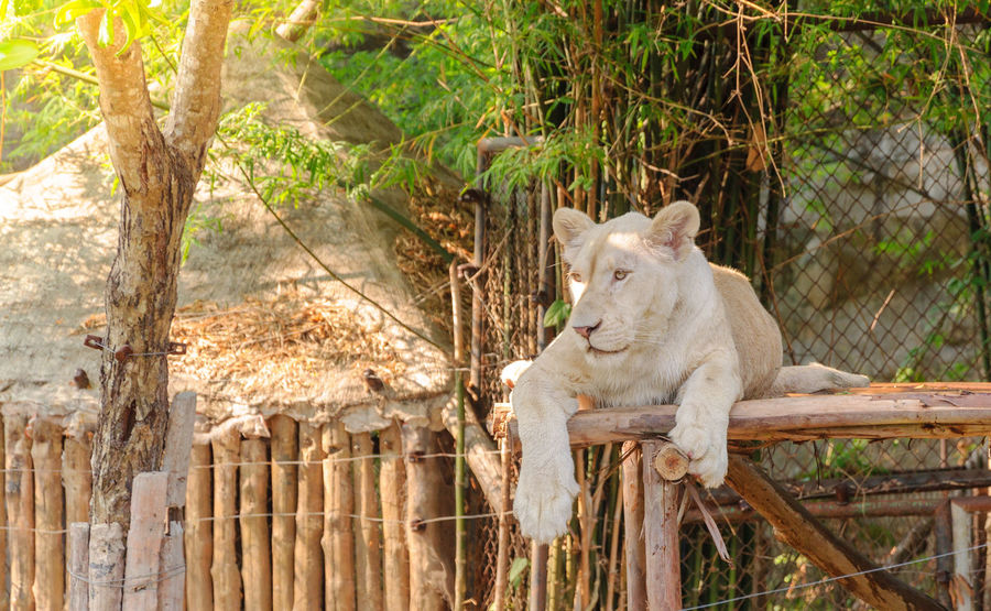 White lioness lay down on litter wood in open zoo Animal Animal Themes Animal Wildlife Animals In The Wild Bamboo - Plant Cat Day Domestic Domestic Animals Feline Looking Mammal Nature No People One Animal Outdoors Pets Plant Relaxation Sitting Tree Vertebrate
