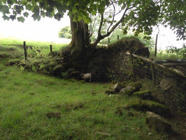 Lost Sheep Sheep Lamb Alone Lost Wall Corner Field Grass Tree