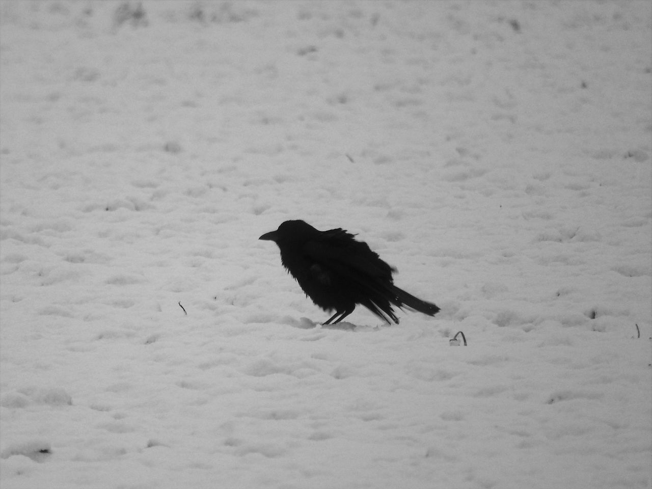 animal themes, animal, bird, snow, winter, one animal, vertebrate, animals in the wild, animal wildlife, cold temperature, no people, day, nature, field, white color, land, beauty in nature, black color, outdoors