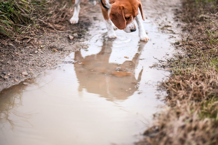 Animal Themes Domestic Animals Mammal Pets Domestic One Animal Animal Reflection Dog Canine Water Vertebrate Day Puddle Nature No People Dirt Animal Body Part Land Drinking Outdoors Mud Animal Head  1dmk3