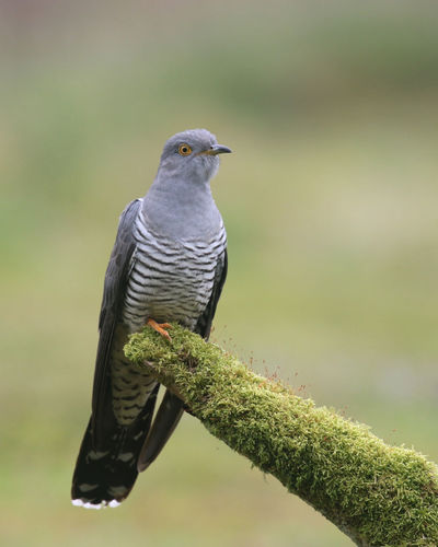 Bird Photography Cuckoo Bird Thursley Common Animal Themes Animal Wildlife Animals In The Wild Beauty In Nature Bird Birds Close-up Cuckoo Focus On Foreground Nature Outdoors Perching Summer