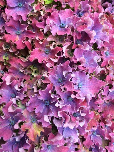 Nature Flower Hortensia Purple EyeEm Nature Lover Purple Flower Flowers,Plants & Garden