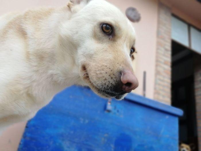 EyeEm Selects Pets Beagle Dog Protruding Close-up