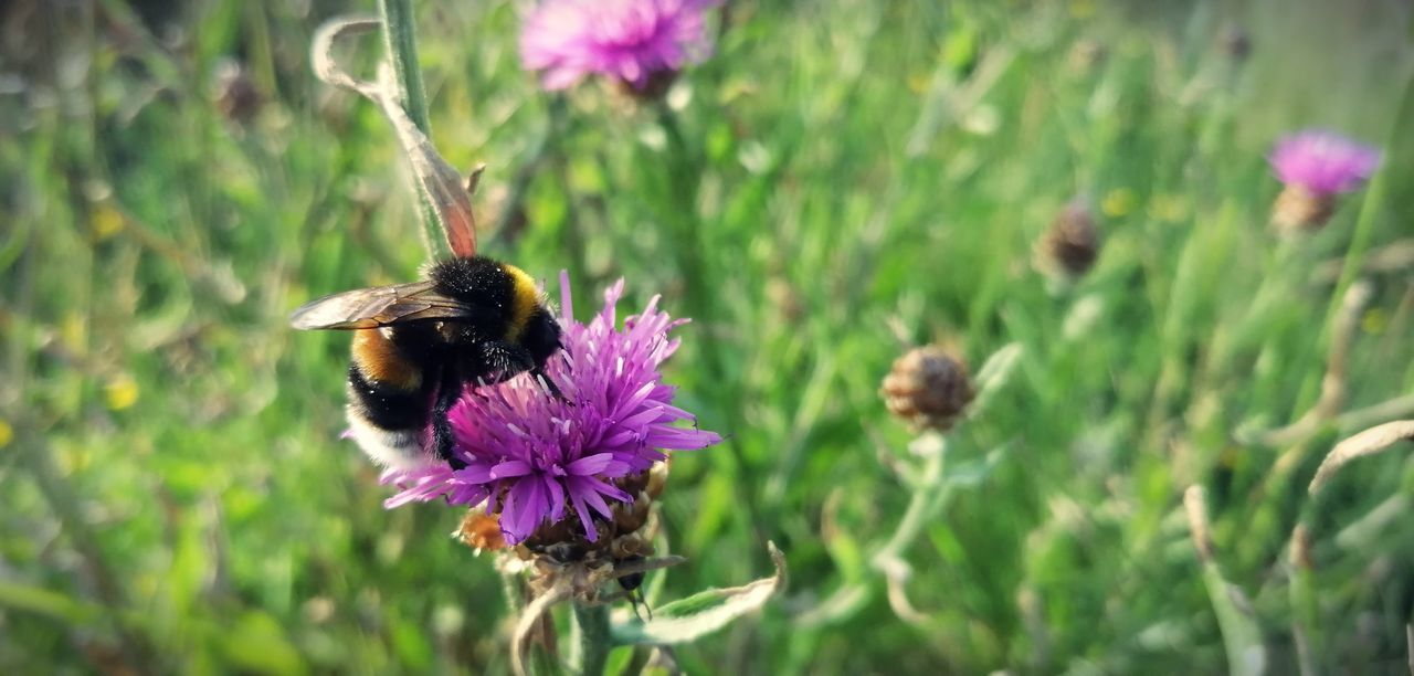 flower, flowering plant, plant, vulnerability, fragility, freshness, invertebrate, insect, petal, animals in the wild, growth, animal themes, animal, one animal, animal wildlife, flower head, beauty in nature, bee, close-up, purple, pollination, bumblebee, no people