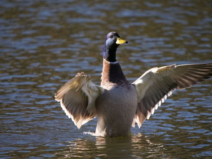 Bird Animal Themes Animals In The Wild Animal Wildlife Vertebrate Animal Water Lake Spread Wings Flying One Animal Waterfront No People Day Nature Goose Water Bird Rippled Reflection Animal Wing Outdoors Flapping