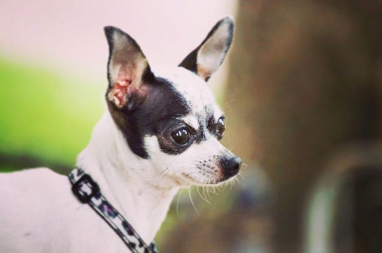 One Animal Pets Dog Close-up Outdoors Sunshine Chihuahua Beauty Girl Furbaby Chihuahualovers Enjoying Life Detroit