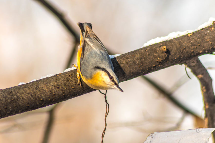 Eurasian nuthatch Branch One Animal Focus On Foreground Animal Tree Animal Wildlife Animal Themes Animals In The Wild Close-up No People Plant Vertebrate Nature Day Outdoors Perching Wood - Material Tree Trunk Bird Trunk Eurasian Nuthatch