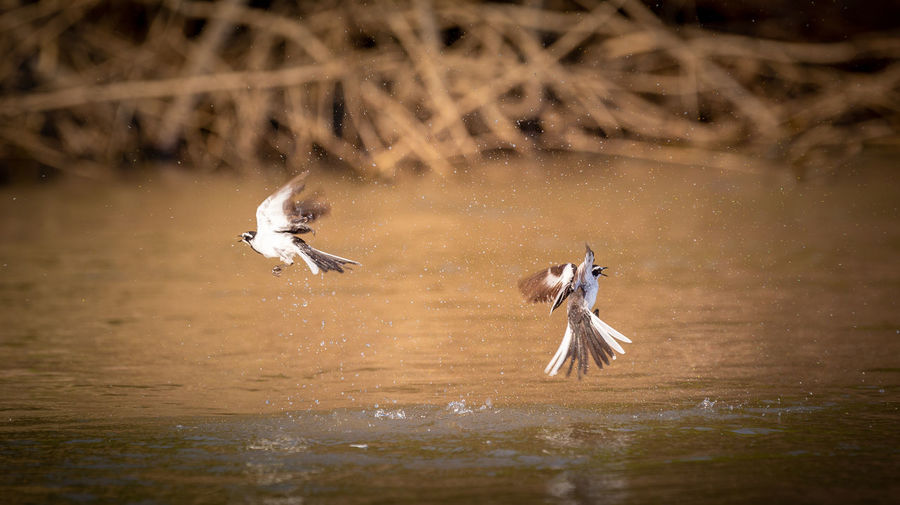 Birds' splash Africa Animal Animal Themes Animal Wildlife Animals In The Wild Bird Day Flapping Flying Group Of Animals Lake Mid-air Motion Nature No People River Selective Focus Spread Wings Two Animals Vertebrate Water Wilderness Wildlife