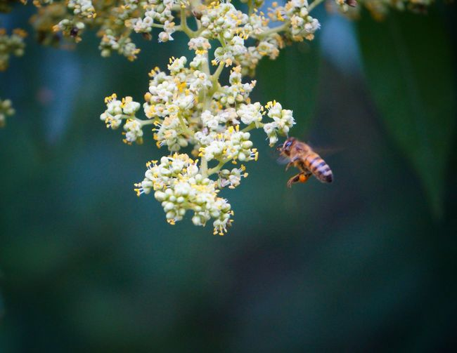 Bee flying by white flowers blooming outdoors