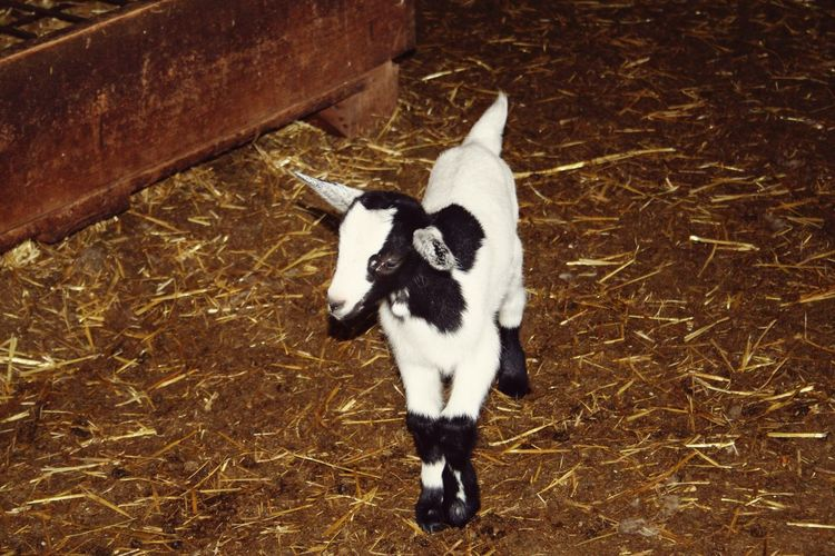 Black and white Farm Farm Life Baby Coat Animal Themes Animal Photography Pets High Angle View Black Color Kid Goat Goat Livestock Domestic Cattle