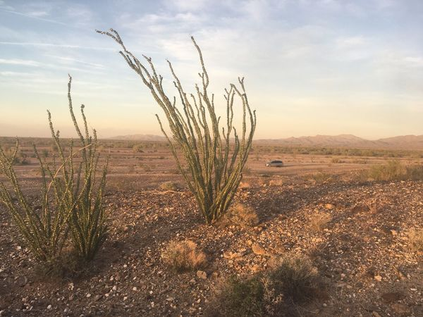Ocotillo plants with new leaves in February. Rural Scene Desert Arizona Tranquility Landscape Arizona Desert Outdoors Beauty In Nature Scenics Nature No People Land Vehicle Mode Of Transport Car Desert Life Arizona Plant Life Day Plant Ocotillo Clear Sky