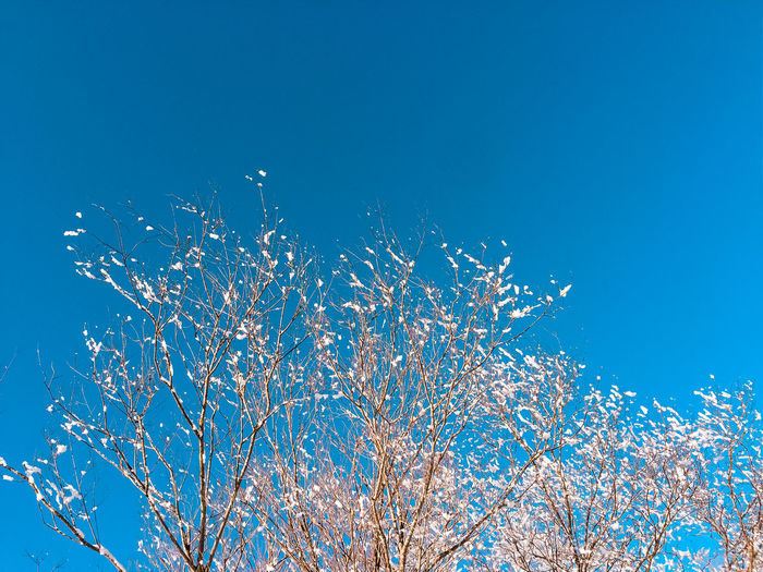 Low angle view of cherry blossom against clear blue sky