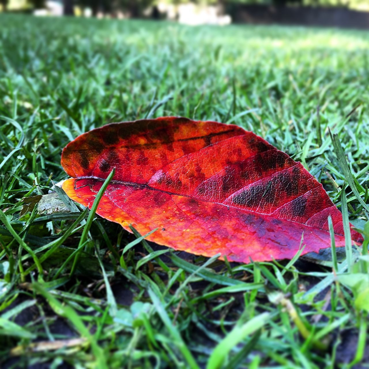 Close-Up Of Autumn Leaf On Green Grass