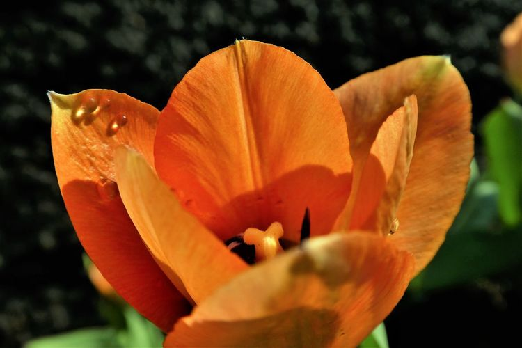 Flower Flowering Plant Fragility Petal Vulnerability  Beauty In Nature Flower Head Inflorescence Orange Color Freshness Plant Close-up Growth Focus On Foreground Nature No People Day Pollen Outdoors Orange Tulip