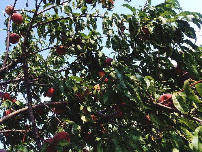 Peaches Peachpicking Picking