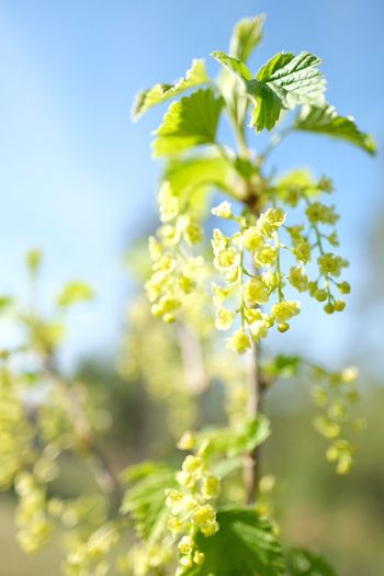 No filters needed in the spring on a sunny day! Nature Freshness Beauty In Nature Springtime Focus On Foreground No Filter Garden Photography FUJIFILM X-T2 Fujifilm_xseries Sunny Day Outdoors Close-up Redcurrant Spring Colours Bluesky Green Color