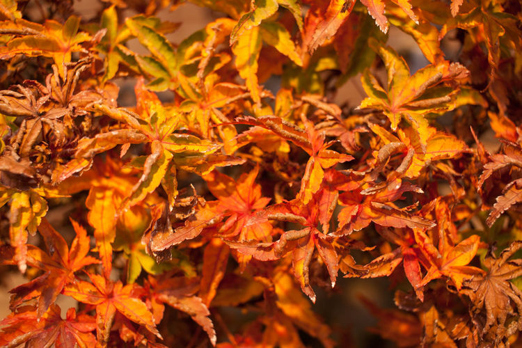 Autumn Beauty In Nature Bonsai Bonsai Tree Change Close-up Day Fragility Growth Leaf Maple Maple Leaf Nature No People Orange Color Outdoors Plant