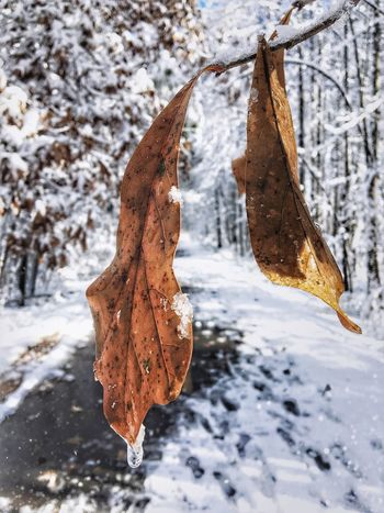 One Time Cold Temperature Snow Winter Nature Hanging Frozen Weather Branch No People Close-up Outdoors Beauty In Nature Leaf Day Tree Shades Of Winter