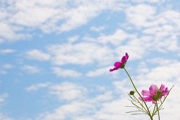 お天気うれしいね 秋桜 Flower コスモス 羊雲 Eyemphotography EyeEm Nature Lover Natural Botanical 空