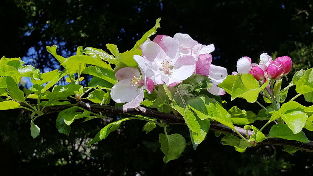 Apple blossom Flower Head Flower Leaf Close-up Plant Plant Life Petal Blossom Apple Blossom Bud Blooming Botany