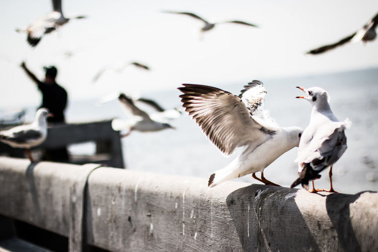 Bird Vertebrate Animal Wildlife Animal Animal Themes Animals In The Wild Group Of Animals Flying Spread Wings Seagull Wood - Material Day Nature No People Water Outdoors Railing Focus On Foreground Flock Of Birds