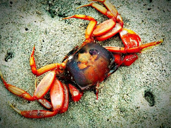 Crab Sea Side Nature_collection Nature Crabs!! Beautiful Cool Colors Photo Red Photography Outdoors Hot Raw Best  New On Eyeem 2016 EyeEm Best Shots Best Of EyeEm Colorful Photos Around You Wildlife Best On EyeEm Click Bestoftheday