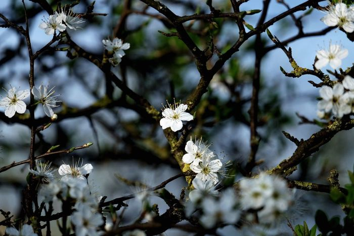 Flower Fragility Blossom White Color Branch Apple Blossom Springtime Tree Beauty In Nature Nature Growth Botany Apple Tree Freshness Twig Petal Orchard Flower Head Day Plum Blossom