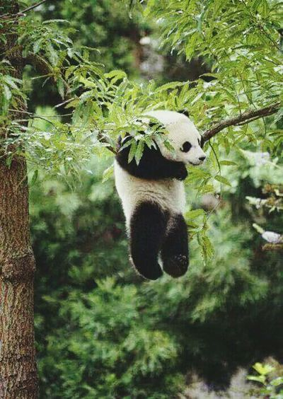 My Favorite Photo Animals In The Wild Animal Photography Panda Nature Photography Nature_collection Green Green Green!  Leaves🌿 Japan Scenery Japan_focus