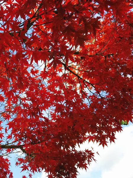 Fall Beauty Fall Leaves Red Leaves Nature