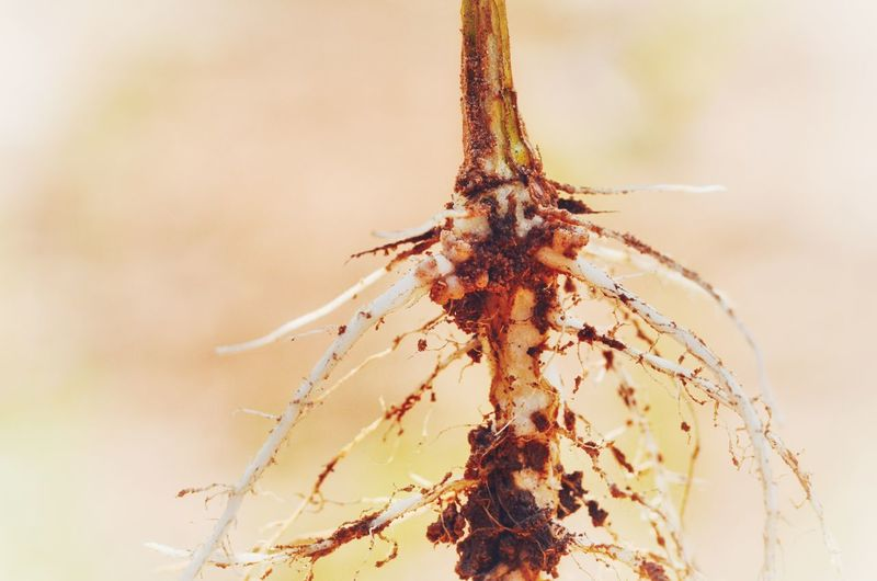 EyeEm Selects Macro Close-up Nature Outdoors Root Pea Plant Rhizobium Legume Agriculter Root Node