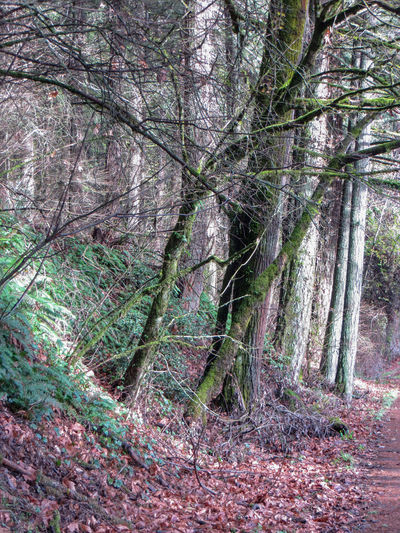 Roadside winter trees Branches Footpath Hiking Nature Oregon Quiet Trees Winter WoodLand Dirt Road Forest Leaves No People Non-urban Scene Outdoors Peaceful Sunbeam Vertical Wilderness Woods