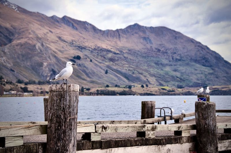 Seagull perching on wooden post in sea against mountains