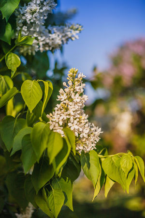 A branch of white lilac vertical photo. Close-up at sunset. Soft light Blue Bunch Of Flowers Close-up Day Flower Freshness Green Color Lilac Nature No People Outdoors Petal Photo Sky Springtime Sunny Day Sunset Vertical White Color