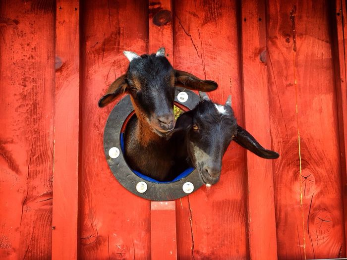 Goats Looking From Circular Window Of Barn