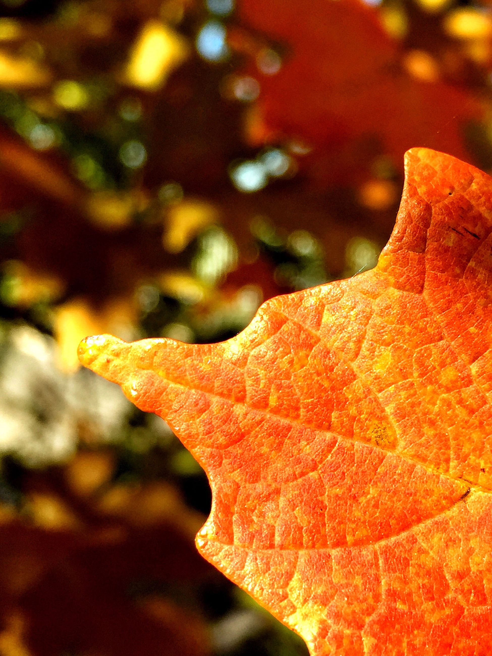 leaf, close-up, autumn, season, change, selective focus, detail, extreme close up, nature, focus on foreground, natural condition, leaf vein, beauty in nature, orange color, growth, red, fragility, day, outdoors, leaves, freshness, botany, vibrant color, red color