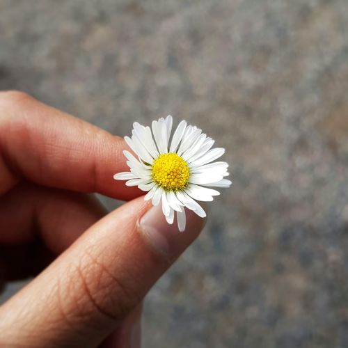 White Flower Fragility Close-up Nature Petal Outdoors Hand Holding Flower
