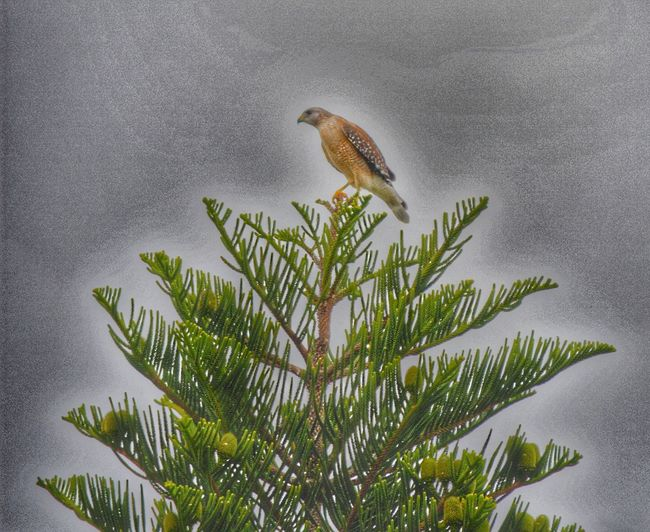 Hawk Perched On Top Pine Tree Top One Animal Bird Animal Themes Animals In The Wild Nature Animal Wildlife Perching Day Beauty In Nature Outdoors